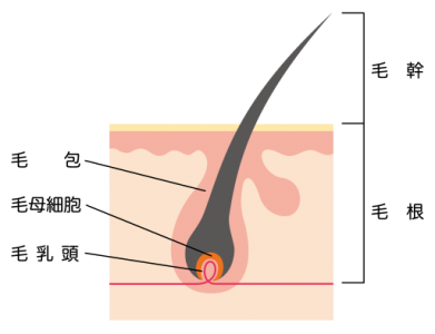 cross-sectional-view-of-the-skin_hair_s-1